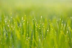 Fine verde del giacimento del riso in su Immagini Stock Libere da Diritti