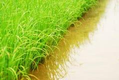 Fine verde del riso in su immagini stock libere da diritti