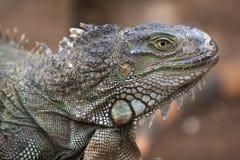 Fine verde del ritratto della testa della lucertola dell'iguana sulla foto fotografia stock libera da diritti