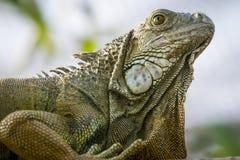 Fine verde dell'iguana in su fotografia stock libera da diritti