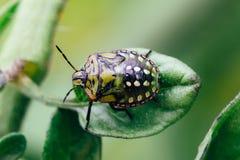 Fine verde dell'insetto di puzzo su fotografia stock