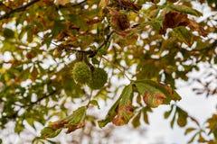Fine verde della castagna sul colpo sull'albero, luce naturale immagini stock libere da diritti