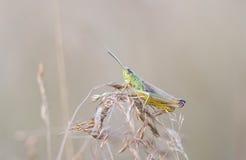 Fine verde della cavalletta su Fotografie Stock