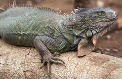 Fine verde della lucertola dell'iguana sulla foto fotografia stock libera da diritti