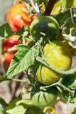 Fine verde della pianta di pomodori su in giardino Immagini Stock