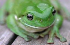 Fine verde della rana di albero in su Fotografie Stock
