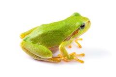 Fine verde della rana di albero su Immagine Stock Libera da Diritti