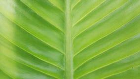 Fine verde di macro della foglia su fondo Fotografia Stock Libera da Diritti