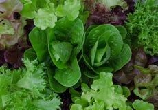 Fine verde e porpora mista fresca dell'insalata su Immagini Stock