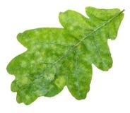 Fine verde fresca della foglia della quercia su isolata su bianco Immagine Stock Libera da Diritti
