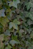 Fine verde scuro dell'edera su fotografia stock