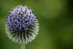 Fine viola del fiore in su Fotografia Stock