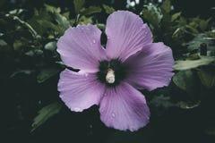 Fine viola del fiore in su immagini stock libere da diritti