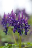 Fine viola del fiore su Fotografia Stock Libera da Diritti
