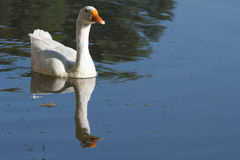 Fine white goose floating on blue water. Reflection Royalty Free Stock Photos