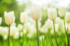 Fine white tulips bloomed in early spring in a city Park, shot from a low angle Stock Images