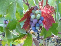 Fine Wine Grapes Ready for Fall Harvest in Sonoma. Purple, blue and green wine grapes framed by red and green leaves, ready for harvest in Sonoma along Russian Stock Photo