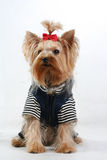 Fine yorkshire terrier. Small Yorkshire terrier sits in design clothes Royalty Free Stock Photos