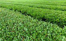 The finest green tea bushes at green-tea plantation of Jeju Island, South Korea. The finest green-tea bushes at a plantation of Jeju Island, South Korea Royalty Free Stock Photography