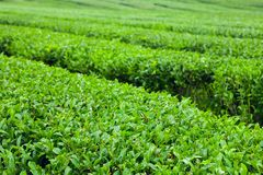 The finest green tea bushes at the organic green-tea plantation of Jeju Island, South Korea. The finest green-tea bushes at the organic plantation of Jeju Island Stock Photos