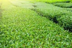Finest green tea bushes at green-tea plantation of Jeju Island, South Korea. Finest green-tea bushes at a plantation of Jeju Island, South Korea Stock Image
