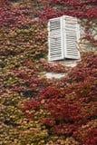 Finestra bianca ed edera rossa Fotografia Stock