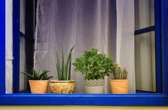 Finestra blu con i vasi da fiori con i cactus fotografia stock libera da diritti