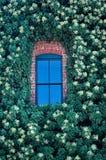 Finestra blu in edera Fotografie Stock Libere da Diritti