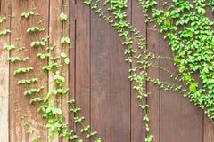 Finestra con il fondo dell'estratto dell'edera Fotografia Stock