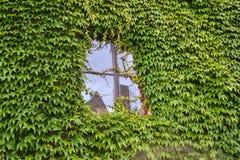 Finestra dell'edera Fotografia Stock