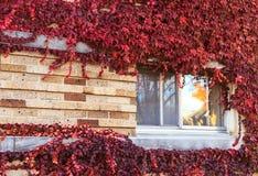 Finestra su una parete coperta di uva Fotografia Stock