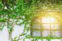 Finestre della casa della campagna con la vite della pianta strisciante fotografia stock