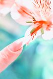 Finger with beautiful manicure touch a flower Royalty Free Stock Image