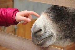 Finger caressing muzzle donkey. A finger caressing muzzle donkey Royalty Free Stock Photo