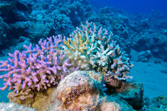Finger coral in tropical sea at great depth, underwater Stock Images