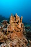 Finger corals underwater Stock Photography