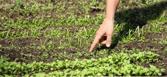 Finger de la muchacha que señala al crecimiento en las hierbas picantes del jardín Fotografía de archivo