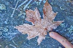 Finger, der auf reifbedecktes Ahornblatt zeigt Stockbild