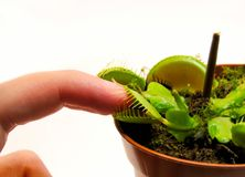 Finger in einem Venus Fly Trap-Mund lizenzfreie stockfotos
