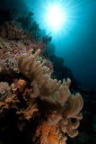Finger leather coral in the Red Sea. Stock Images