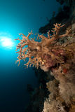 Finger leather coral in the Red Sea. Stock Photos