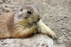 Finger Licking Good Prairie Dog. Prairie dog on a flat rock with paw in mouth stock photography