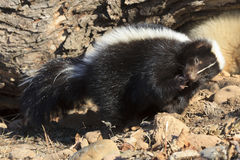 Finger licking good. A skunk licking his paws clean Royalty Free Stock Photos