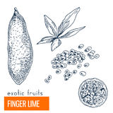 Finger lime. Hand drawn vector illustration. Vintage enngraving style Royalty Free Stock Images