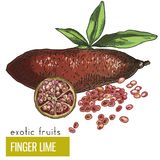 Finger lime with leaves and slice. Exotic fruits, hand drawn vector illustration, colored sketch Stock Image