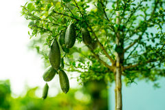 Finger lime on tree with bokeh. At thailand royalty free stock photo