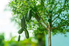 Finger lime. On tree in the garden Stock Images