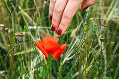 Finger mit dem roten Fingernagel, der eine blühende Mohnblume berührt Stockbild