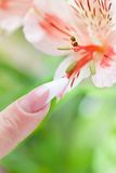 Finger mit schöner Manikürenote eine Blume Lizenzfreie Stockbilder