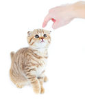 Finger pointed guilty Scottish cat fold isolated Royalty Free Stock Image